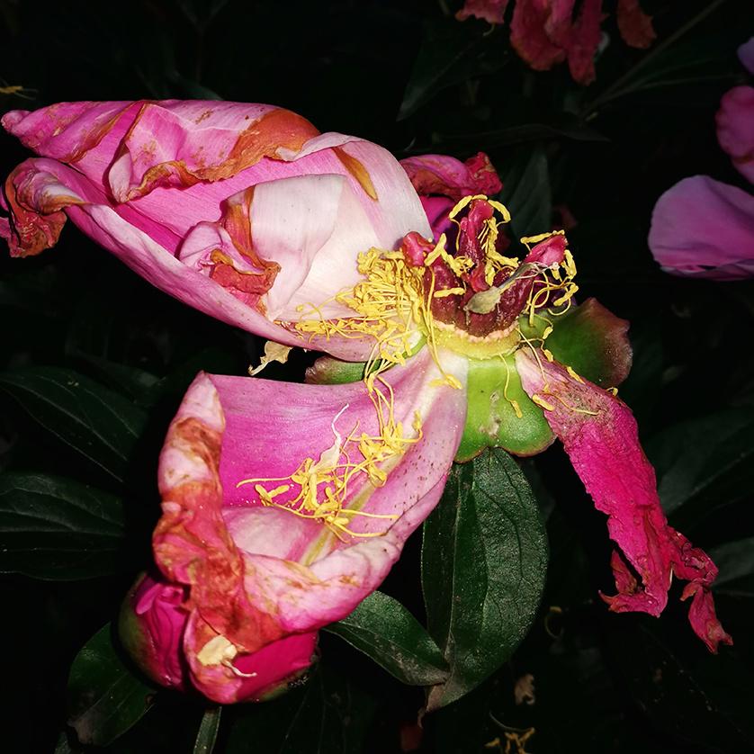 Adore Blossom-1