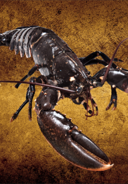 Black lobster