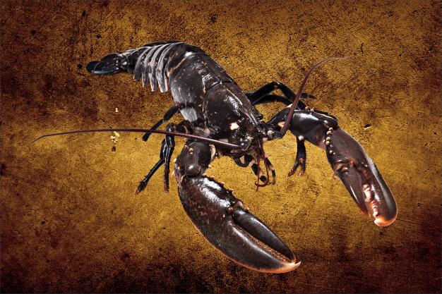 Black lobster-1