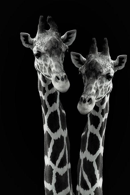 Giraffes on safari-1
