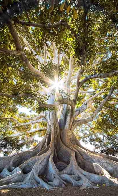 Old tree sunshine