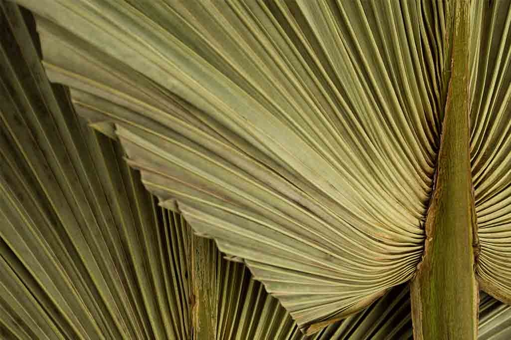Dry Palm Leaves-1