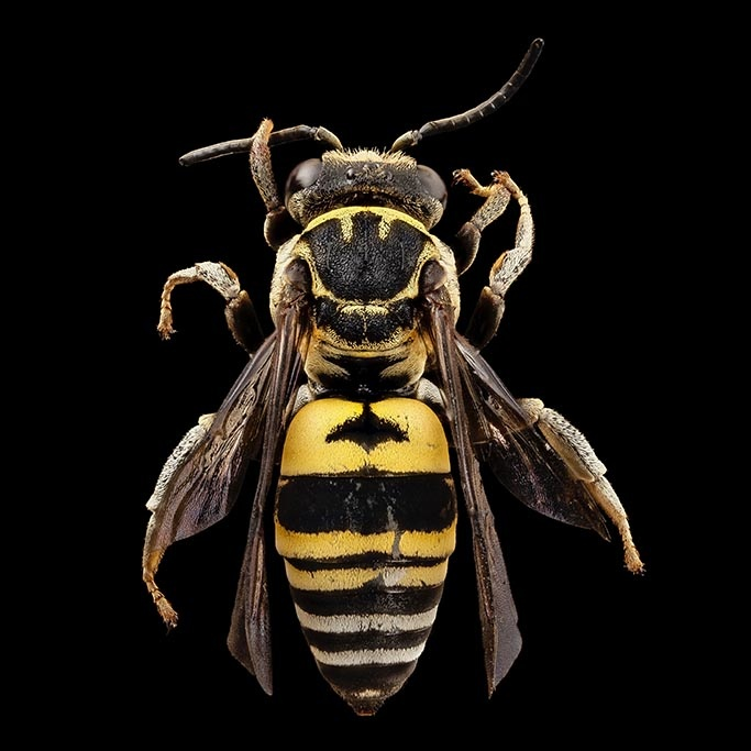 Black and Yellow Bee-1