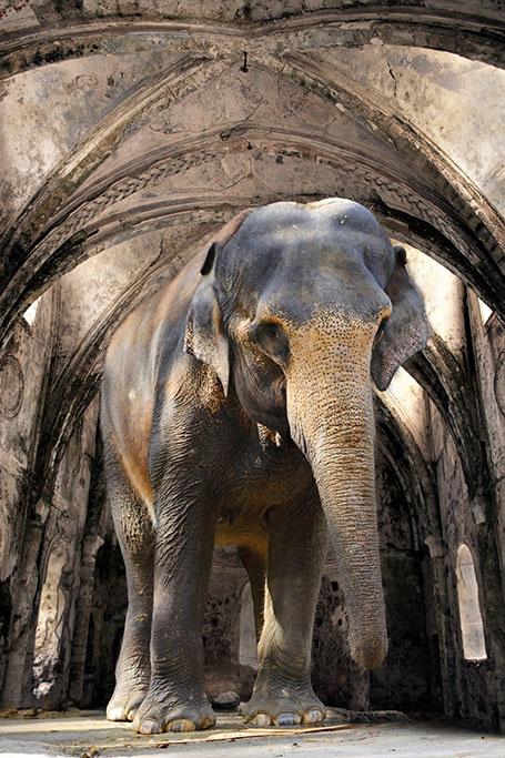 Indian Elephant-1