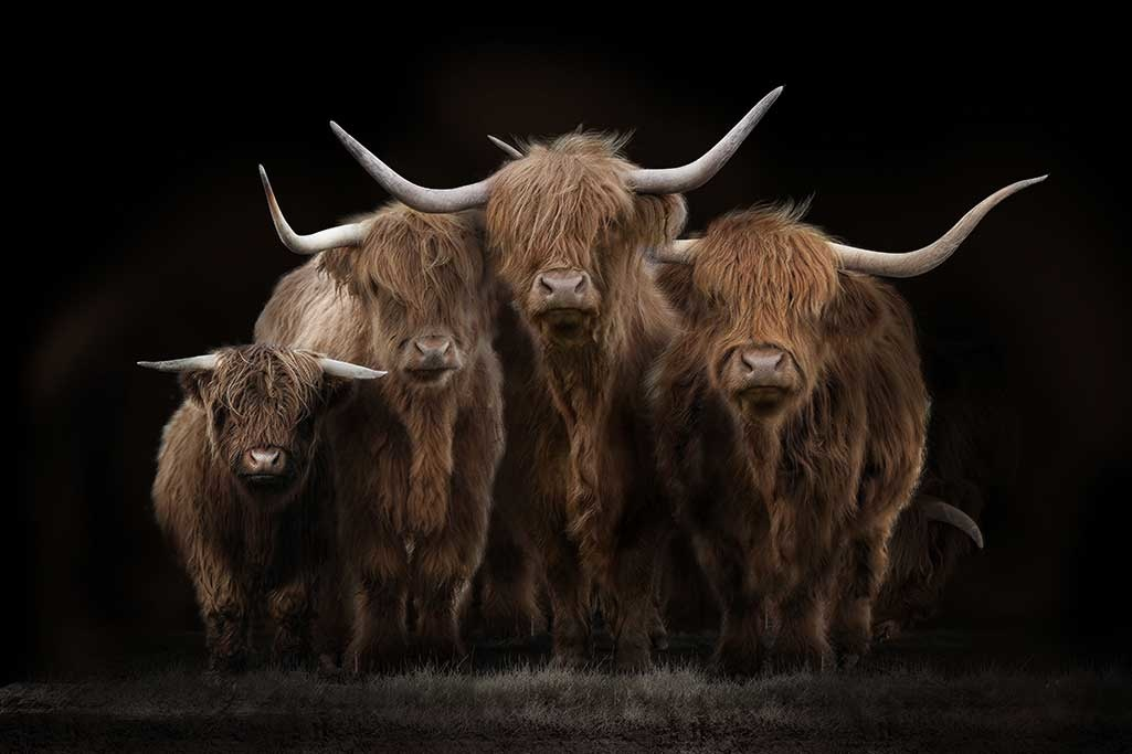 Scottish Highlanders