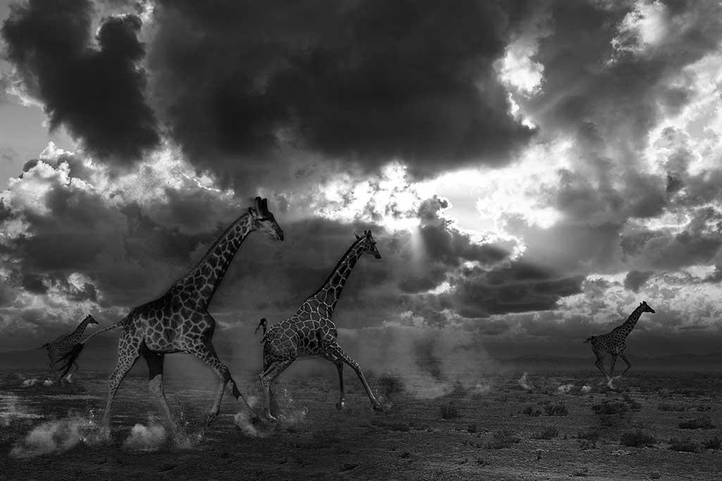 Running Giraffes-1