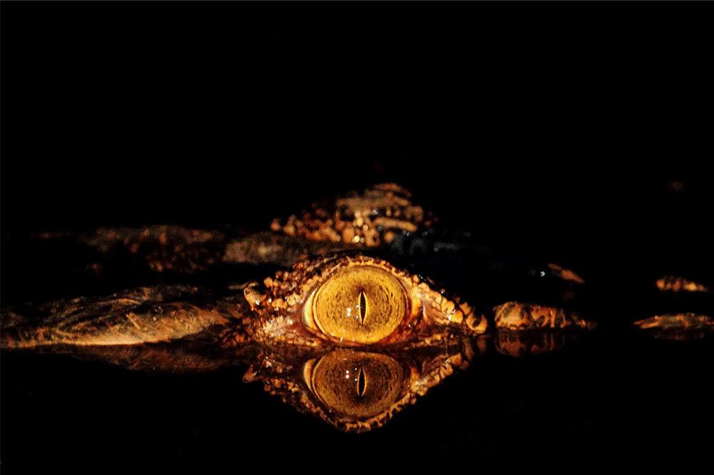 Crocodile eye-1
