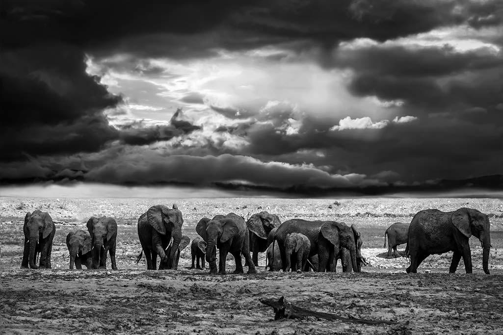 The elephants family - Black & white-1