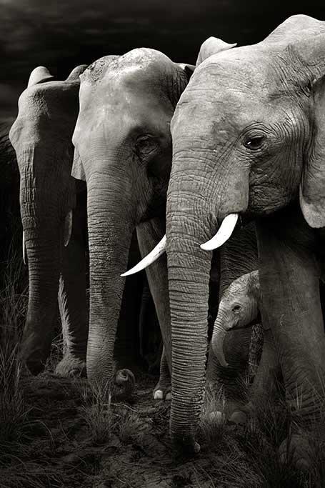 Herd of Elephants-1
