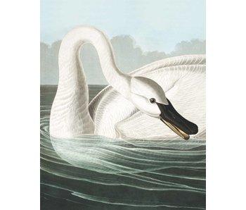 KEK Amsterdam Bakgrundspanel Trumpeter Swan