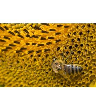 Werbe-/Produktfotograf Marcel Mende Biene auf Sonnenblume