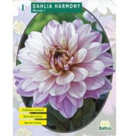 Dahlia  Melody Harmony