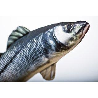 Gaby The European Sea Bass  (70 cm)