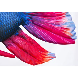 Gaby The Siamese Fighting Fish  (53 cm)