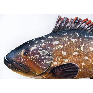 The Dusky grouper  (100 cm)