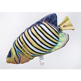 Gaby The Regal Angelfish