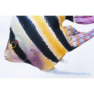 The Freshwater Angelfish  (51 cm)