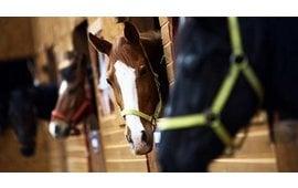 Hufabszess beim jungen Pferd