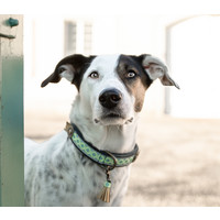 Dog With A Mission DWAM Judy Blue Collar (Vegan)