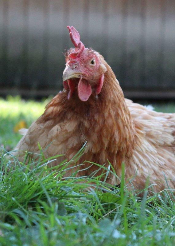 Lebenshof Tiermensch Futter für Hühner & Enten