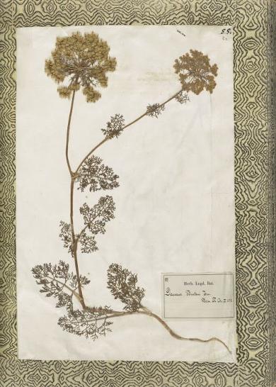 rauwolf-herbarium
