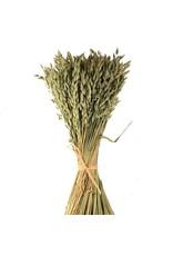 Dried oats - avena - per bunch - Harvest 2019