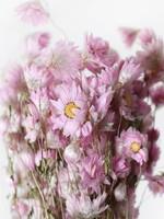 Dried Rhodante - pink sunburst