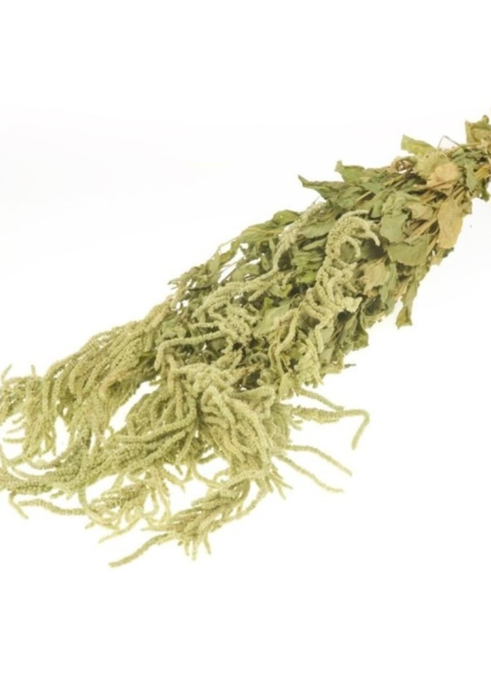Kattenstaart - Amaranthus Caudatus Green - gedroogd