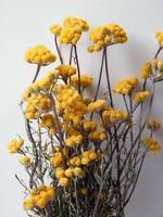 Dried Lonas Aanua Yellow