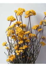 Lonas Aanua Yellow - gedroogd - per bos
