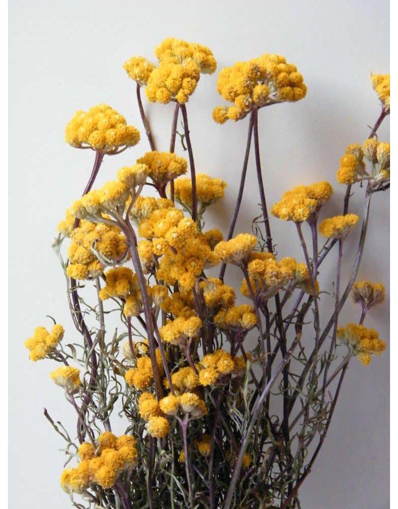 Lonas Aanua Yellow - dried - per bunch