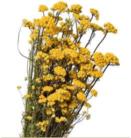 Gedroogde Lonas Aanua Yellow