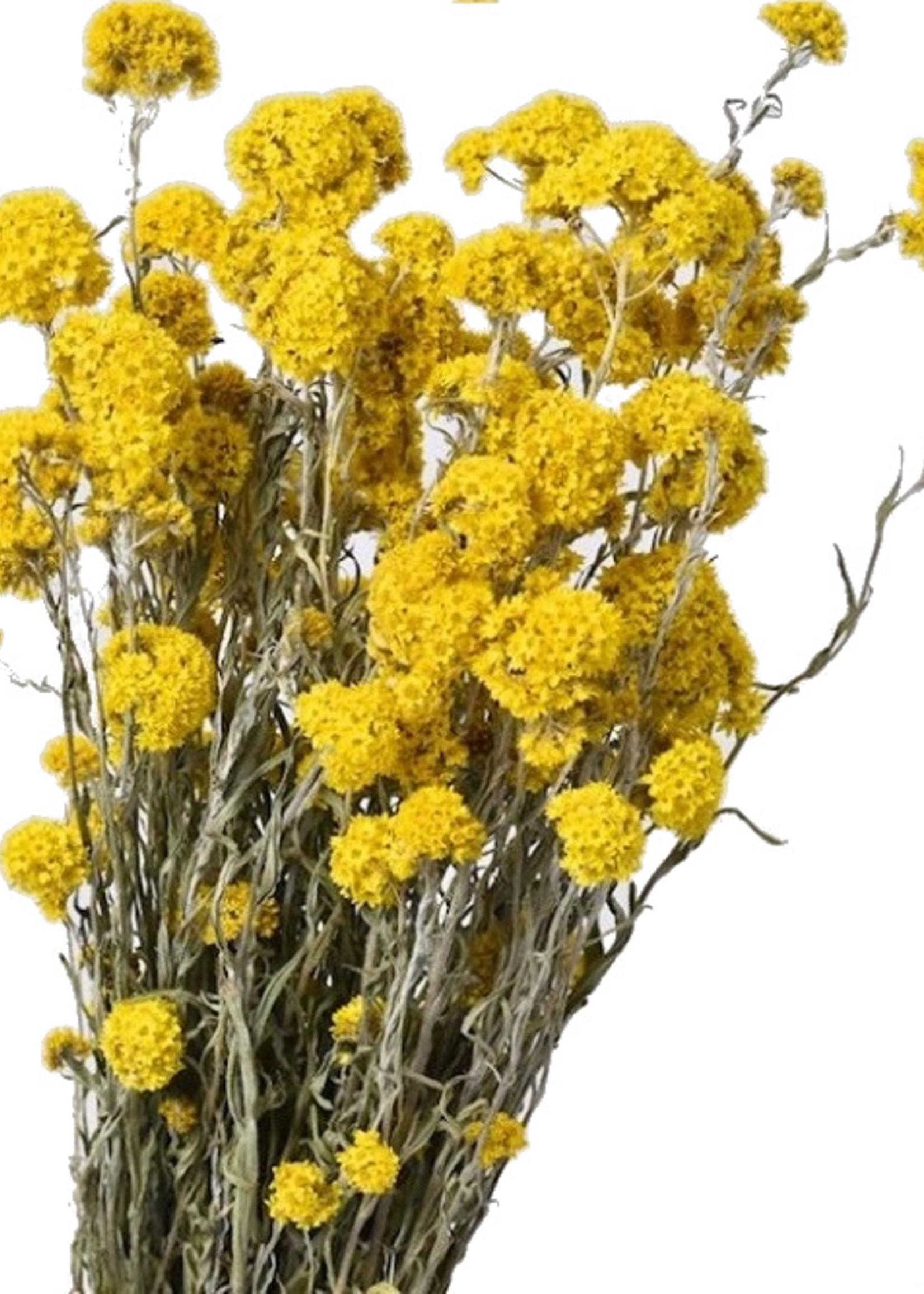 Droogbloemen - Gedroogde gele Sanfordii per bos