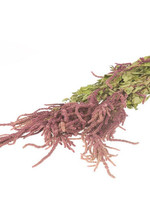 Kattenstaart - Amaranthus Caudatus Rood