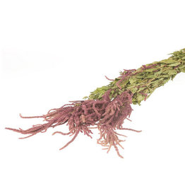 Katzenschwanz - Amaranthus Caudatus Rot
