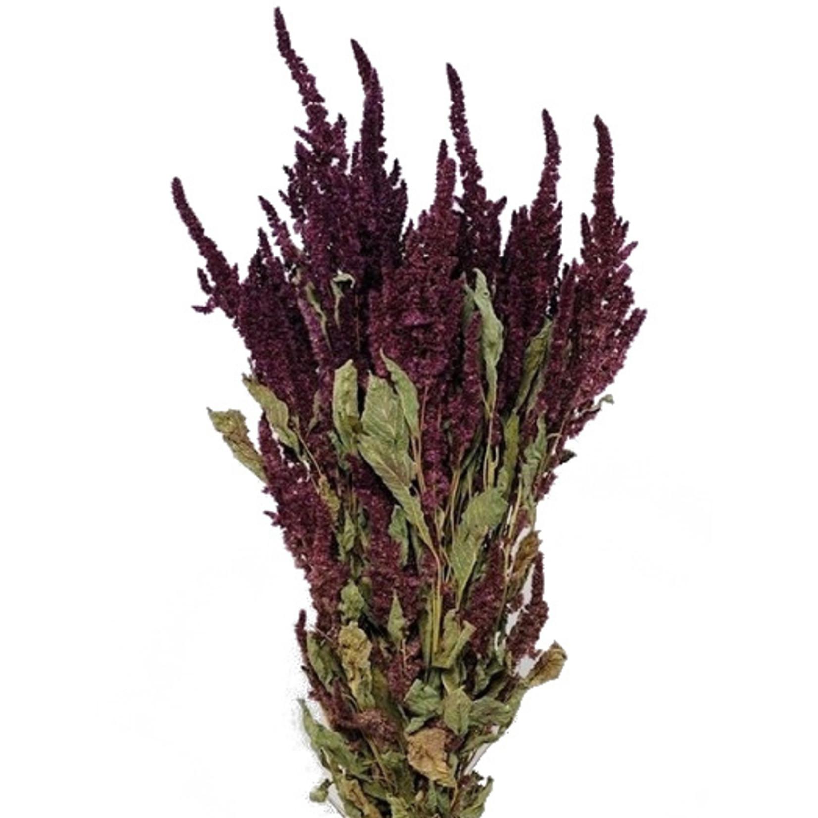 Bos gedroogde Amaranthus Red