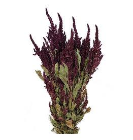 Bos gedroogde rode Amaranthus