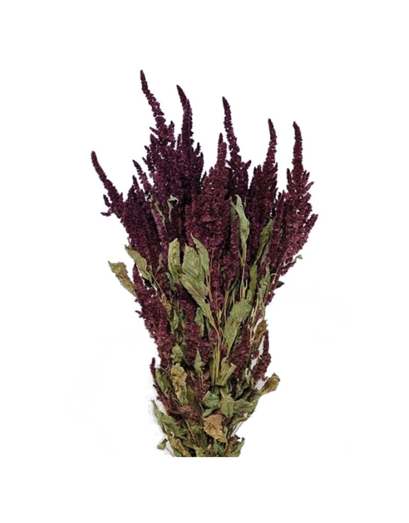 Bunch of dried red Amaranthus