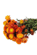 Dried flowers - Dried straw flower - Helichrysum - Orange