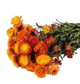 Gedroogde strobloem - Helichrysum - Oranje