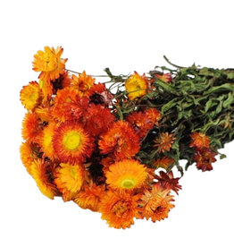 Trockenblumen - getrocknete Strohblume - Helichrysum - Orange
