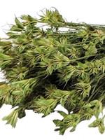 Trockenblumen - getrocknete Nigella Orientalis