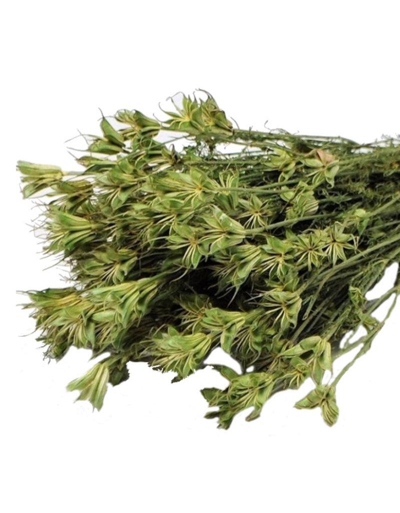Dried Nigella Orientalis - per bunch