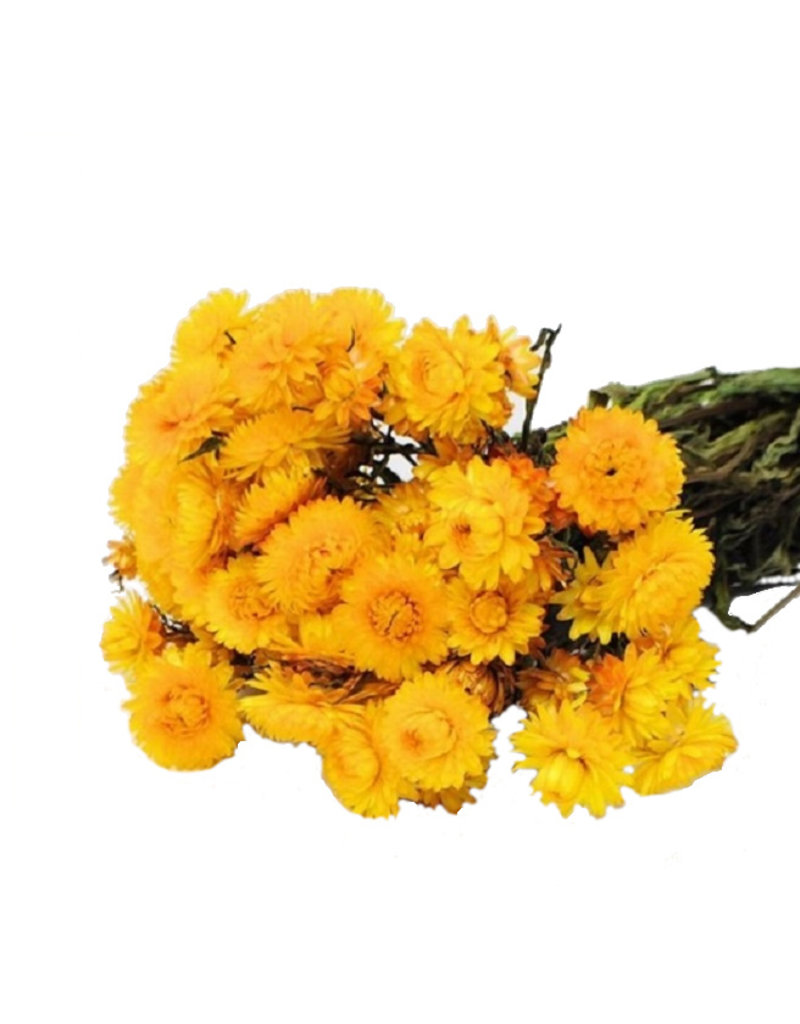 Trockenblumen - getrocknete Strohblume - Helichrysum - Gelb