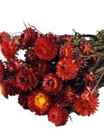 Dried flowers - Dried straw flower - Helichrysum Red