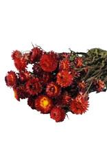 Trockenblumen - getrocknete Strohblume - Helichrysum - Rot