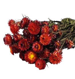 Dried flowers - Dried straw flower - Helichrysum - Red