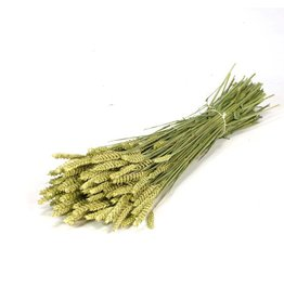 Gedroogde tarwe - Triticum - Oogst 2019