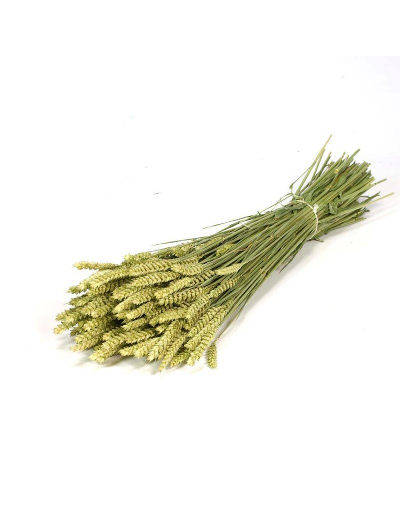 Getrockneter Weizen - Triticum - pro Bündel- Ernte 2019