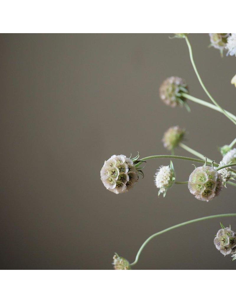 Pigeon herb (Scabiosa) per branch